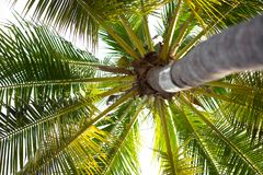Härlig kokospalm på vit bakgrund Arkivfoton