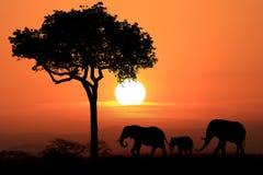 Härlig kontur av afrikanska elefanter på solnedgången Arkivfoton