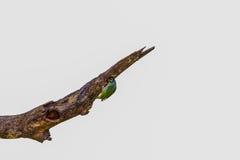 härlig kopparslagarebarbet (den Megalaima haemacephalaen) Asien Thail Royaltyfri Bild