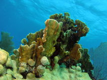 härlig korall Arkivfoton