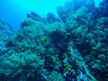 Härlig korall av den undervattens- världen på Similan Marine National p Fotografering för Bildbyråer