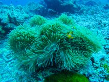 Härlig korall av den undervattens- världen på Similan Marine National p Royaltyfri Fotografi