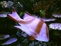 Härlig korallfisk i blått vatten Arkivfoto
