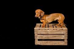 Härlig korvhund på en träask arkivbild