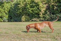 Härlig korvhund som sniffar gräset royaltyfri fotografi