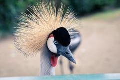 Härlig krönad kran med det blåa ögat och den röda wattlen Royaltyfri Foto