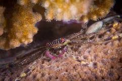 Härlig krabba Arkivbild