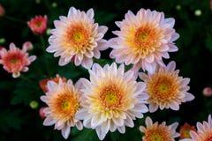 Härlig krysantemum som bakgrundsbild Orange chrysanthemum arkivbild