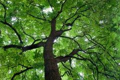 härlig kulör grön tree Royaltyfri Fotografi