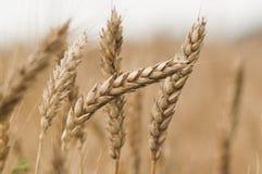 härlig kvinna för wheatfield ii Arkivbild