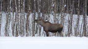 Härlig kvinnlig älg som matar på skoglövverk i djupfryst vinterlandskap för arktisk cirkel stock video