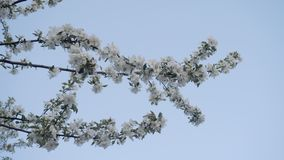 Härlig kvist av att blomma det Apple trädet i vår på bakgrunden av en härlig blå himmel naturlig h?rlig liggande stock video