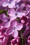 Härlig kvist av doftande rosa lilablomningar closeup Royaltyfri Fotografi