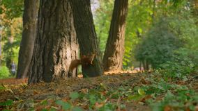 Härlig längd i fot räknat av ekorren går på jordning och klättrar därefter på trädet, den röda svansen, Sunny Day arkivfilmer