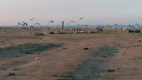 _ Härlig längd i fot räknat för ultrarapidsolnedgångsurr av fågelseagulls som flyger ovanför den Dungeness byn i Kent, England HD lager videofilmer