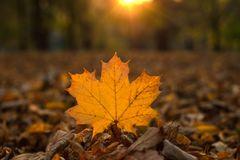 Härlig lönnlöv på solen mot suddig bakgrund för nedgång Royaltyfri Foto
