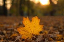 Härlig lönnlöv på solen mot suddig bakgrund för nedgång Royaltyfri Bild