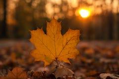 Härlig lönnlöv på solen mot suddig bakgrund för nedgång Royaltyfri Fotografi