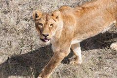 Härlig lös afrikansk lejoninna. Arkivfoto
