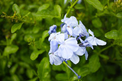 Härlig lös blått blommar i gruppen, Ceratostigma plumbaginoides Royaltyfria Bilder