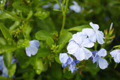 Härlig lös blått blommar i gruppen, Ceratostigma plumbaginoides Fotografering för Bildbyråer