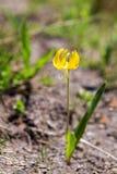 Härlig lös blomma på Mt rainier arkivbilder