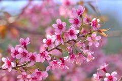Härlig lös Himalayan körsbärsröd blomning i nord av Thailand Fotografering för Bildbyråer