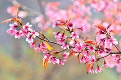 Härlig lös Himalayan körsbärsröd blomning i nord av Thailand Arkivfoton