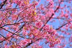 Härlig lös Himalayan körsbärsröd blomning i nord av Thailand Arkivbilder