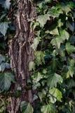Härlig lös murgröna på trädskäll i parkera Royaltyfria Bilder