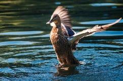 Härlig lös and som viftar med vingarna i vatten Royaltyfri Foto