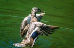 Härlig lös and som viftar med vingarna i vatten Arkivbild