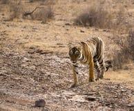 Härlig lös tiger Arkivbilder
