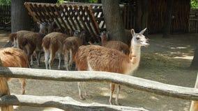Härlig lama som ser till avståndet Arkivbilder
