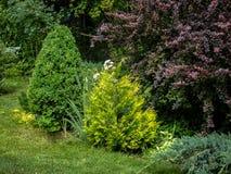 Härlig landskap trädgård med evergreen Exempel genom att använda den purpurfärgade barberryen, gula visare av den västra thujaen, arkivfoto