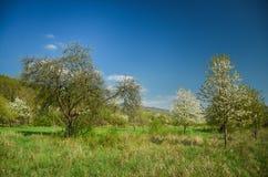 härlig landskapfjäder Körsbärsröda träd för vita blommor på trevlig äng mycket av grönt gräs Skog för blå himmel och majestäti ba Arkivbild