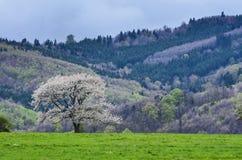 härlig landskapfjäder Körsbärsröda träd för vita blommor på trevlig äng mycket av grönt gräs Skog för blå himmel och majestäti ba Arkivfoto