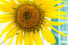 Härlig landskapsolros Royaltyfria Foton