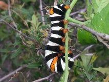 Härlig larv för naturer Arkivfoto