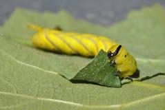 Härlig larv tailed hund royaltyfri fotografi
