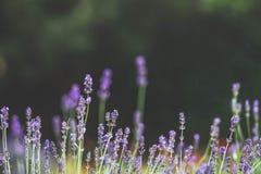 Härlig lavendelbuske på en naturlig bakgrund, suddig bakgrund, utrymmetext Royaltyfria Foton