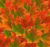 härlig leaveslönn arkivfoto