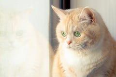 Härlig ledsen krämig strimmig kattkatt som sitter nära fönstret royaltyfria foton