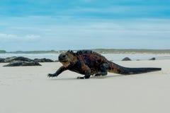 Härlig leguan som vilar i stranden Santa Cruz Fotografering för Bildbyråer