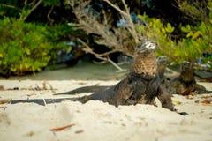 Härlig leguan som vilar i stranden Santa Cruz Arkivbild