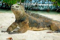 Härlig leguan som vilar i stranden Santa Cruz Royaltyfria Foton