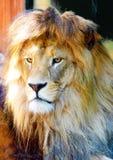 Härlig lejonframsida, profilstående effekt för 50mm bakgrundsblur aktiverar sidan för nattnikkordeltagaren Royaltyfri Foto