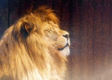Härlig lejonframsida, profilstående effekt för 50mm bakgrundsblur aktiverar sidan för nattnikkordeltagaren Royaltyfria Foton