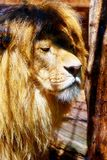 Härlig lejonframsida, profilstående effekt för 50mm bakgrundsblur aktiverar sidan för nattnikkordeltagaren Royaltyfri Fotografi