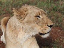 Härlig lejoninna som ner ligger royaltyfri fotografi